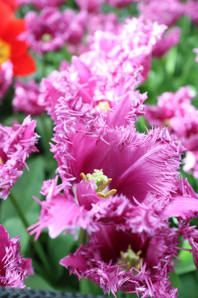 Tulpenparadies Keukenhof